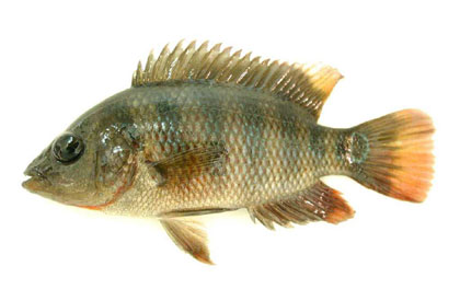 Mayan cichlid specimen, a juvenile from south Florida. Photo © Sam Thompson