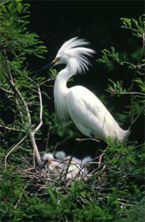 Snowy egrets feed on the Mayan cichlid. Photo courtesy U.S. Fish and Wildlife Service