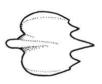 Roughskin dogfish denticle. Illustration courtesy FAO Species Catalog, Vol. 4 Part 2 Sharks of the World