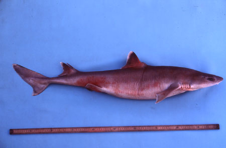Roughskin dogfish reach an average length of about 3 feet (0.9 m). Photo © George Burgess