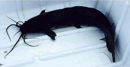 Walking catfish. Photo courtesy U.S. Geological Survey