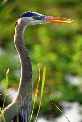 Great blue heron - a predator of the walking catfish. Photo courtesy South Florida Water Management District