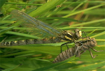 Walking catfish prey on dragonfly larvae. Photo © Albert P. Bekker, California Academy of Sciences