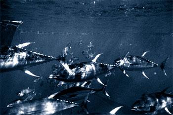 Yellowfin tuna feed on pompano dolphin. Photo courtesy NOAA