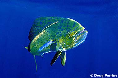 Dolphinfish. Photo © Doug Perrine