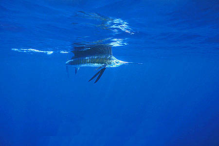 Sailfish are common predators of the dolphinfish in the western Pacific Ocean. Photo © Doug Perrine