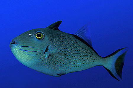 Sargassum triggerfish (Xanthichthys ringens)are among the numerous prey items of the dolphinfish. Photo © Doug Perrine