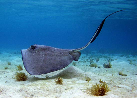 Southern stingray off the coast of Belize. Photo © Jason Romine