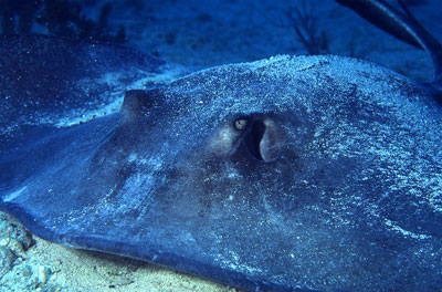 Southern stingray up-close. Photo © George Ryschkewitsch