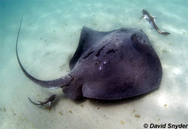 Roughtail Stingray. Photo © David Snyder