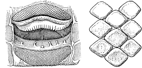 Roughtail Stingray: Open mouth of female specimen (left), and Upper teeth from near center of jaw (right). Image courtesy Bigelow and Schroeder (1948) FNWA