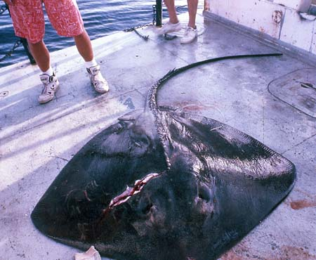 A large roughtail stingray on the deck of a boat. Photo © Franklin F. Snelson Jr.