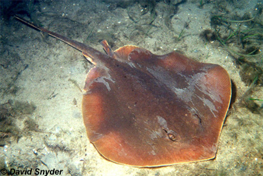 Atlantic Stingray. Photo © David Snyder