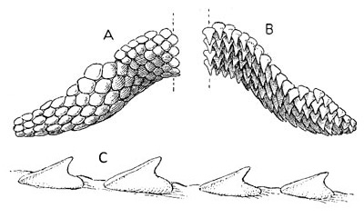 D. sabina dentition (top) A. tooth band of female, B. tooth band of male; (bottom) C. Tubercles on the tail spine of D. sabina. Image courtesy Fishes of the Western North Atlantic, 1948