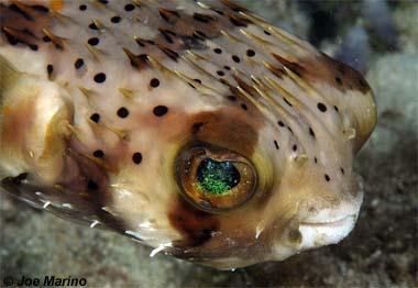 Balloonfish. Photo © Joe Marino