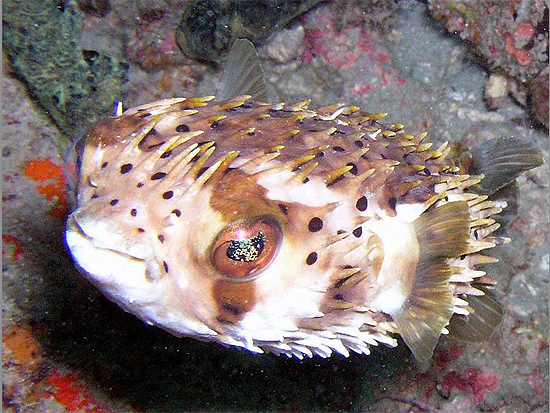 Inflated Balloonfish (Diodon holocanthus).