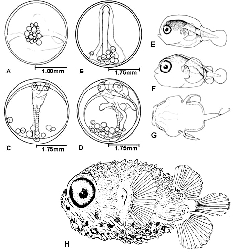 Developmental stages of the Diodon holocanthus (Balloonfish) (A) early stage egg, (B) blastopore closure, (C) middle stage, (D) late stage. Reared larvae of the Diodon holocanthus (Balloonfish) (E) newly hatched larvae 2.0mm, (F) 10-day-old larvae 2.4mm, (G) dorsal view of 10-day-old larvae, pigment omitted. Juvenile Diodon holocanthus (Balloonfish) displaying pelagic spotting. Illustrations courtesy Jeffrey M. Leis, Fishery Bulletin: Vol. 76, No.3, 1978