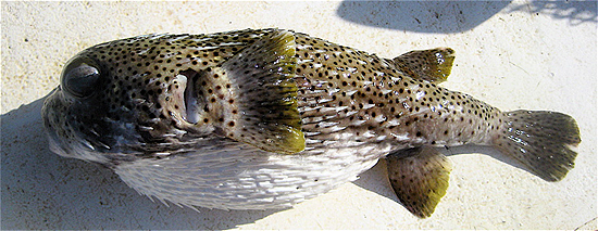 Porcupinefish. Photo © John Soward