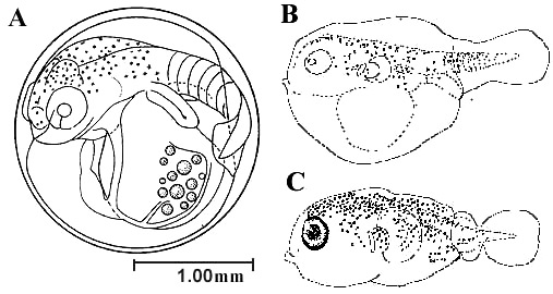 Development of the porcupinefish: (A) Prior to hatching; (B) newly hatched larva; (C) and five day old larva. Image courtesy Jeffrey M. Leis, Fishery Bulletin: Vol. 76, No.3, 1978