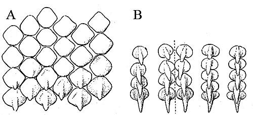 Barndoor skate dentition: A. Upper teeth from center of a jaw from a female, B. Teeth from center of jaw from a male. Image courtesy Bigelow and Schroeder (1948) FNWA