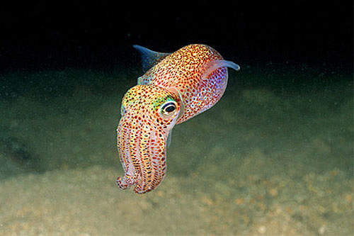 Barndoor skates feed on a variety of prey including squid. Photo © Doug Perrine