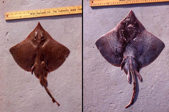 Spreadfin skate: dorsal and ventral views. Photo © George Burgess
