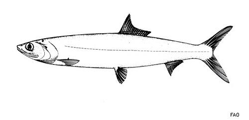 Ladyfish grow to a length of 3 feet. Image courtesy FAO