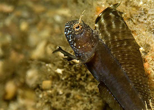 Sexually dimorphic coloration in the sailfin blenny: Male coloration. Photo © David Snyder