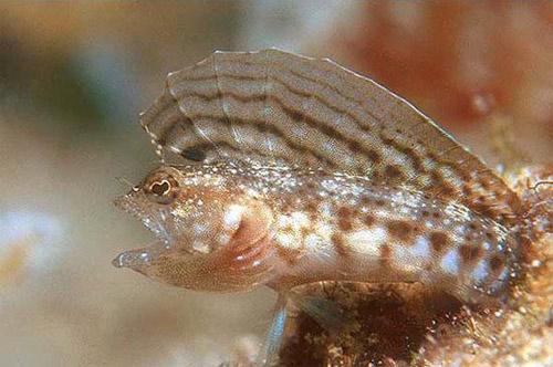 Sexually dimorphic coloration in the sailfin blenny: 1) Male coloration: Female coloration. Photo © Keri Wilk