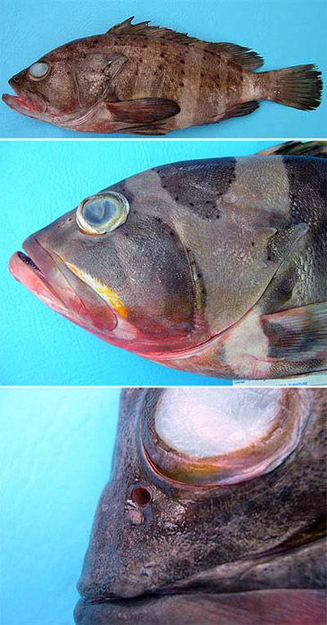 Banded grouper diagnostic characteristics. Photo © George Burgess