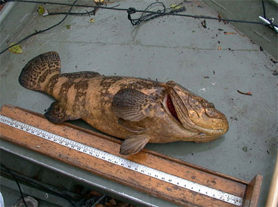 Goliath grouper. Photo courtesy NOAA