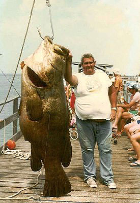 A 450 pound goliath grouper caught by Buddy Jenks at the Big Indian Rocks Fishing Pier, Florida (1976). Photo courtesy Kenneth Krysko