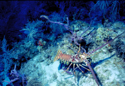 Goliath grouper feed on the spiny lobster. Photo © Don DeMaria