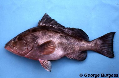 Red grouper. Photo © George Burgess