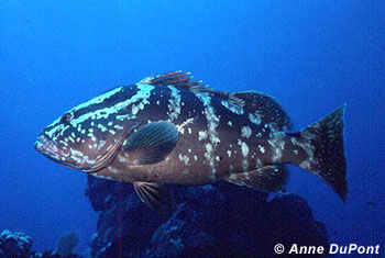 Nassau Grouper. Photo © Anne DuPont