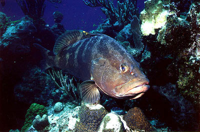 Nassau grouper residing among the corals. Photo © Don DeMaria