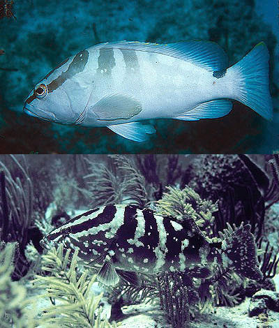 Coloration of the Nassau grouper blends in with its physical environment. Photo © Luis Rocha (top), and courtesy NOAA (bottom).