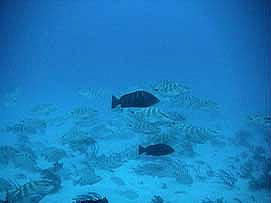 Nassau grouper spawning aggregation. Photo courtesy NOAA