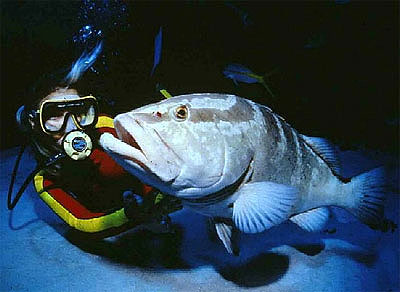 Diver with Nassau grouper. Photo courtesy US Geological Survey