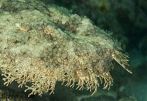 Wobbegong shark bite
