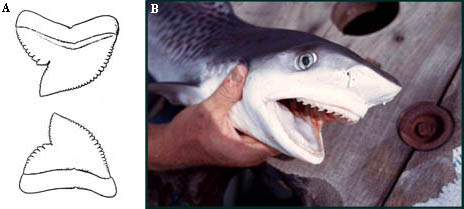 A) Upper and lower teeth of Galeocerdo cuvier, and B) Juvenile tiger shark showing dentition. Illustration courtesy Casey (1964) Bur. Sport Fish. & Wildl Circ. 179 and photo © George Burgess