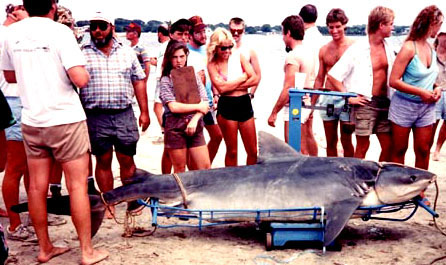 Tiger shark caught during a fishing derby off Jacksonville, Florida in 1981. Photo © FLMNH