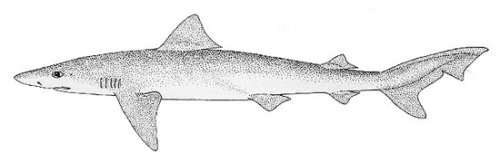 Tope shark. Illustration courtesy FAO Species Catalog, Vol. 4 Part 2 Sharks of the World