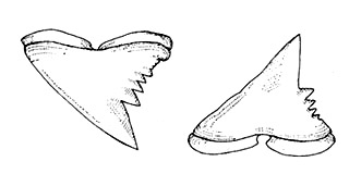 Tope shark dentition: upper and lower teeth. Illustration courtesy FAO Species Catalog, Vol. 4 Part 2 Sharks of the World