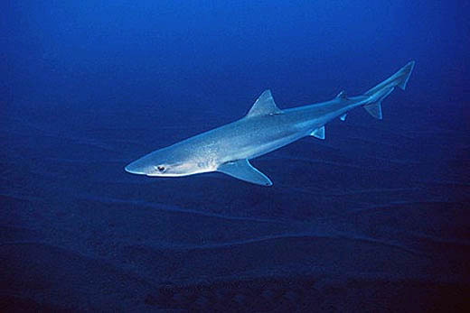 Adapting well to captivity, the tope shark is often see in public aquariums. Photo © Doug Perrine