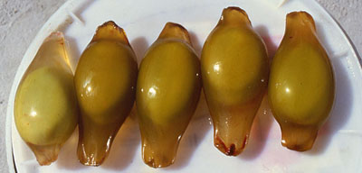 Egg cases from nurse shark. Photo © George Burgess