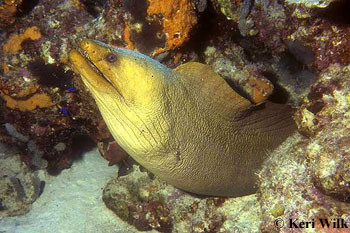 Green Moray. Image © Keri Wilk