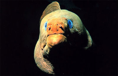 Close-up of the green moray - note the incurrent nostrils. Image courtesy NOAA