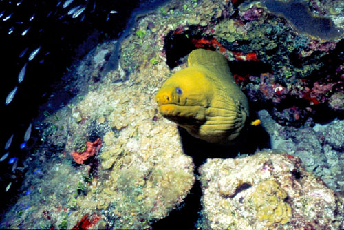 Green moray. Image © Don DeMaria