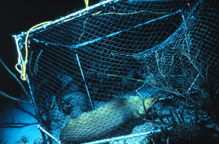 Green moray captured in a fish trap. Image courtesy NOAA